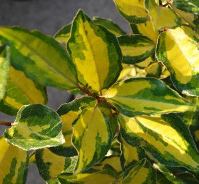 Elaeagnus variegato