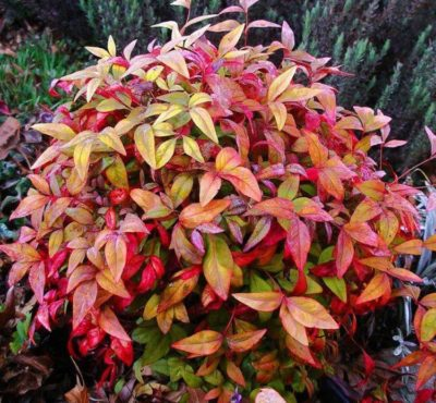 nandina nana fire power
