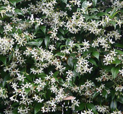 trachelospermun jasminoides